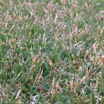 2016年10月18日の朝の裏庭の芝生。かなり低めの目線の拡大。