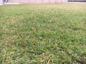 2016年10月27日の朝の裏庭の芝生。かなり低めの目線。