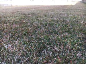 2016年11月26日の裏庭の芝生。グリーンウェイの散布前。かなり低めの目線。
