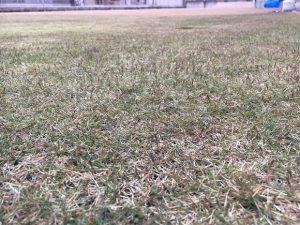 2016年11月26日の裏庭の芝生。グリーンウェイの散布途中。かなり低めの目線。
