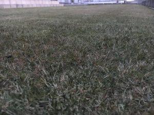2016年11月26日の裏庭の芝生。グリーンウェイの散布後。かなり低めの目線。
