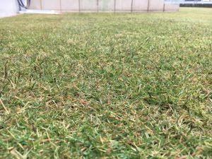 2016年11月27日。グリーンウェイ散布の翌朝の裏庭の芝生。かなり低めの目線。
