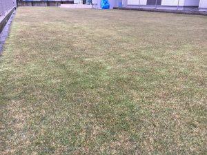 2016年11月27日。グリーンウェイ散布の翌朝の裏庭の芝生。少し低めの目線。