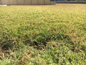 2016年11月5日の秋晴れの裏庭の芝生。かなり低めの目線。