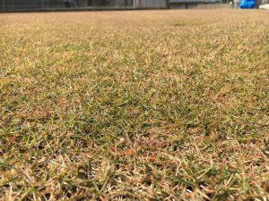 2016年11月12日の裏庭の芝生。TM9の穂刈り前。かなり低めの目線。