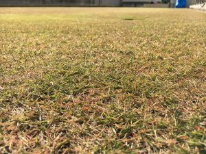 2016年11月12日の裏庭の芝生。TM9の穂刈りの後。かなり低めの目線。