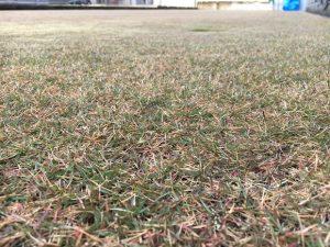 2016年11月20日の朝の裏庭の芝生。かなり低めの目線。