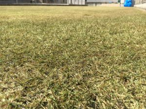 2016年12月3日の裏庭の芝生。かなり低めの目線。