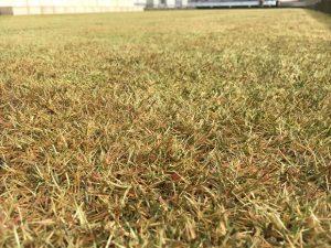 2016年12月23日の裏庭の芝生。かなり低めの目線から。