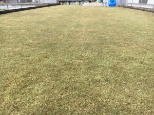 2016年12月23日の裏庭の芝生。少し低めの目線から。