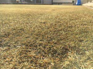 2017年1月1日の裏庭の芝生。かなり低めの目線。